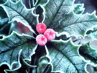 Frostige Stechpalme