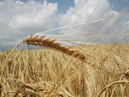 'Grain field', Go2anna, rechtefrei, Wikimedia