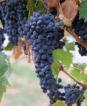 'Wine Grapes ', Fir0002