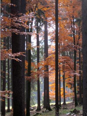 'Herbstwald- Taunus', 2011, PSch