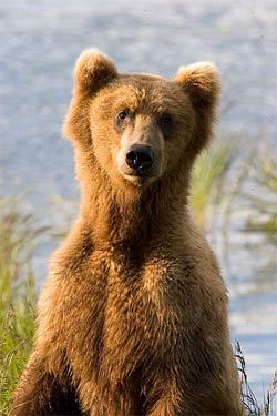 'brown bear in Alaska.', 2006, Jim Chapman