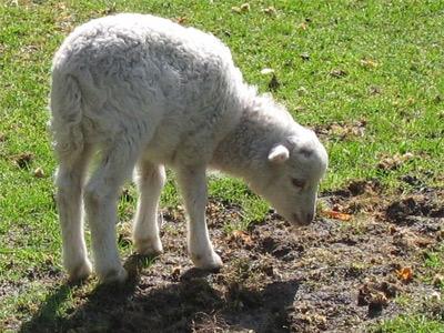 'Lamb in Nunspeet', Fruggo, 2004