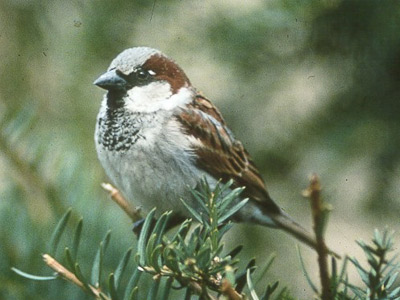 'House Sparrow', 2006, Siebrand