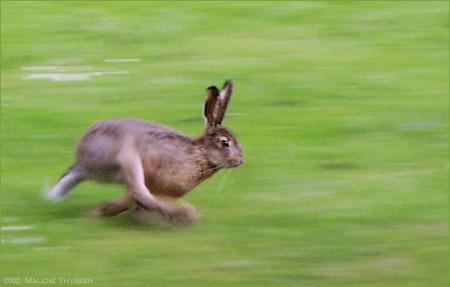 'Running european hare', 2002, Malene Thyssen
