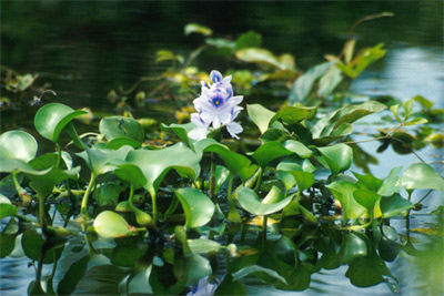 'Common water hyacinth' from USDA. Photo by Ted Center