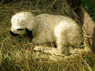 'A 3 weeks old lamb', 2007, Saruman