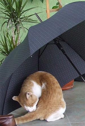 'Hauskater unter Regenschirm', B. Proksch, 2007
