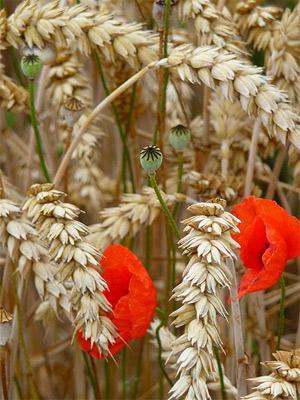 'Klatschmohn (Papaver rhoeas) in einem Weizenfeld (Triticum)', 2009, 3268zauber