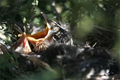 'Turdus birds nest', 2008, Päivi Kuisma, Finland