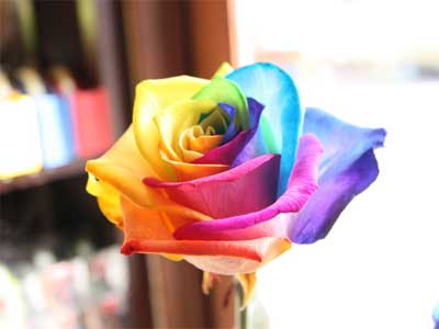 'Rainbow rose', 2009, Foto: Michael Kobayashi(C)ROSESHOP