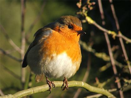 'The European Robin (Erithacus rubecula)', Sunnyjim