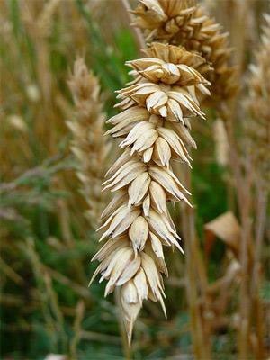 'Detailansicht einer Weizenähre (Triticum L.)', 2000, 3268zauber
